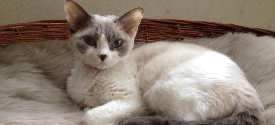 Devon Rex Kitty Grumpy Masterpiece